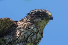 Sharp-shinned Hawk Royalty Free Stock Image