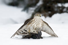 Sharp Shinned Hawk With North american Starling Stock Photo