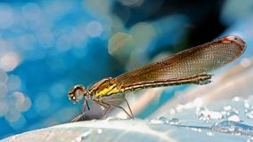Sharp sideview images of black damselfly. Perching on leaf, with beautiful blue bokeh background Stock Images