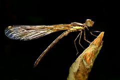 Sharp sideview images of brown damselfly. Perching on stick Stock Photos