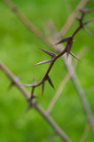 Sharp spines thorns on blurred green background Stock Images
