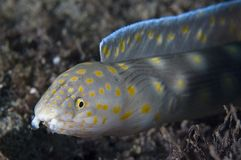 Sharp Tailed Eel. Myrichtys breviceps Stock Photography