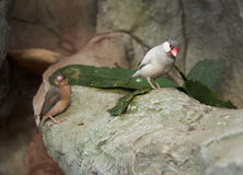 Sharp-tailed grass finch sitting on a stone Royalty Free Stock Images