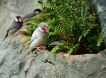 Sharp-tailed grass finch sitting on a stone Stock Photo