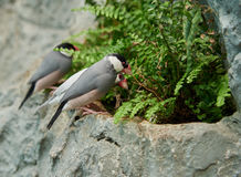 Sharp-tailed grass finch sitting on a stone Royalty Free Stock Image