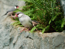 Sharp-tailed grass finch sitting on a stone Royalty Free Stock Photo