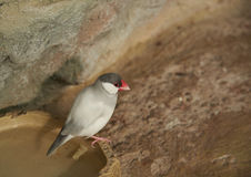 Sharp-tailed grass finch sitting on a stone Royalty Free Stock Photos