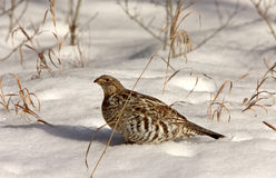 Sharp Tailed Grouse. In Winter Canada Stock Images