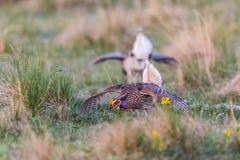 Sharp-Tailed Grouse Lek Stock Images