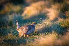 Sharp-Tailed Grouse LEK Stock Photography