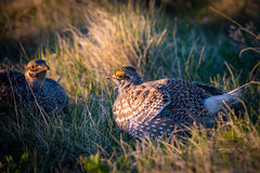 Sharp-Tailed Grouse LEK Royalty Free Stock Photography