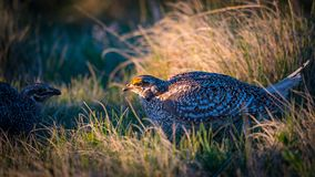 Sharp-Tailed Grouse LEK Royalty Free Stock Image