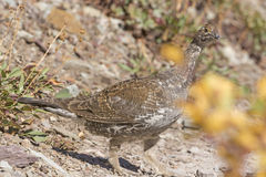 Sharp-Tailed Grouse in a Mountain Clearing Stock Photos