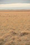 Sharp Tailed Grouse royalty free stock photos