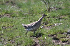 Sharp-tailed grouse (Tympanuchis phasianellus) Royalty Free Stock Images