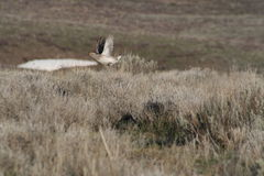 Sharp-tailed grouse (Tympanuchis phasianellus). A Sharp-tailed grouse (Tympanuchis phasianellus) in Idaho Stock Photography