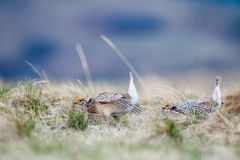 Sharp-tailed grouse (Tympanuchus phasianellus) Royalty Free Stock Photos