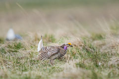 Sharp-tailed grouse (Tympanuchus phasianellus) Stock Image