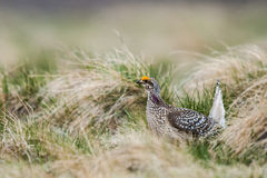 Sharp-tailed grouse (Tympanuchus phasianellus) Stock Images