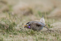 Sharp-tailed grouse (Tympanuchus phasianellus) Royalty Free Stock Images