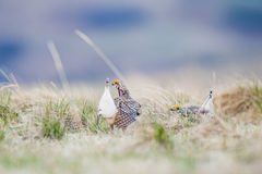Sharp-tailed grouse (Tympanuchus phasianellus) Royalty Free Stock Photo