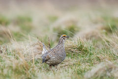 Sharp-tailed grouse (Tympanuchus phasianellus) Stock Photos