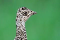 Sharp-tailed Grouse (Tympanuchus phasianellus) Stock Photography