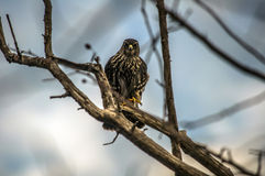 Sharp-tailed Hawk Royalty Free Stock Photos
