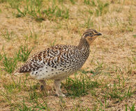 Sharp-Tailed Prairie Grouse another view Stock Photography