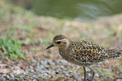 Sharp Tailed Sand Piper Stock Image