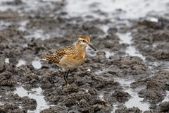 Sharp tailed Sandpiper Stock Images