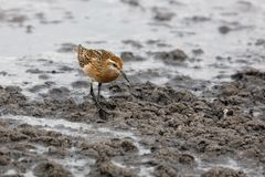 Sharp tailed Sandpiper Stock Photography