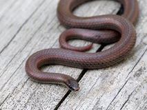 Sharp-tailed Snake - Contai tenuis Royalty Free Stock Photos