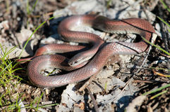 Sharp-tailed Snake Royalty Free Stock Image