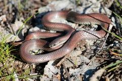 Sharp-tailed Snake Royalty Free Stock Image