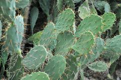 Sharp thorn of catus Stock Photography