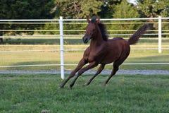 Sharp Turn. Arabian foal turning while galloping Stock Image