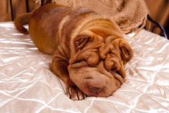 Sharpay on the bed Royalty Free Stock Photography