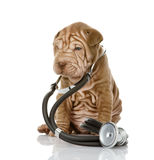 Sharpei与一个听诊器的小狗在他的脖子。 库存照片