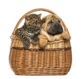 Sharpei小狗和被察觉的豹子崽在一个柳条筐 库存图片