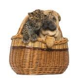 Sharpei小狗和被察觉的豹子崽在一个柳条筐 库存照片