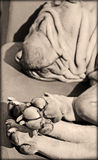 sharpei的可爱的爪子 免版税库存图片