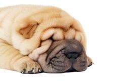 sharpei ρυγχών σκυλιών κινηματο Στοκ φωτογραφίες με δικαίωμα ελεύθερης χρήσης