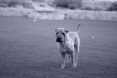 sharpei σκυλιών Στοκ Εικόνες