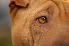 sharpei глаза Стоковое Фото
