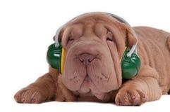 sharpei щенка нот наушников слушая к Стоковые Фотографии RF