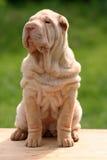 sharpei щенка Стоковое фото RF