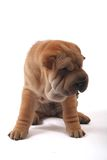 Sharpei 10. A lonely brown sharpei dog siting in white background Stock Image