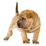 Sharpei Stock Photo