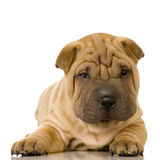 Sharpei Imagem de Stock Royalty Free